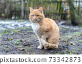 Red Cat Sitting on the Dirty Ground 73342873