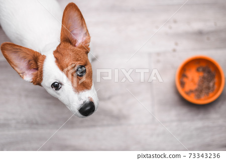 Jack russell terrier looking up. Puppy sitting on wooden floor. Dog with an empty food bowl. Sad and hungry puppy. 73343236