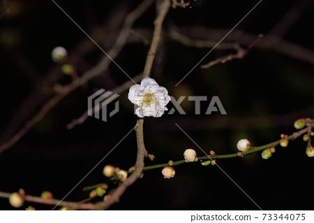 冬天開花的梅花 73344075