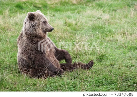 Brown bear in the nature  73347089