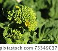 초봄의 화단을 노랗게 장식 나바나의 건강한 잎 73349037