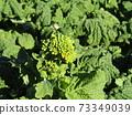 초봄의 화단을 노랗게 장식 나바나의 건강한 잎 73349039