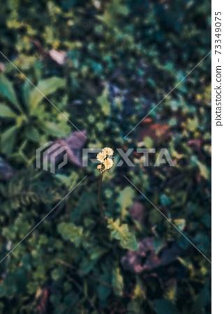 小黃花 73349075