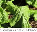 초봄의 화단을 노랗게 장식 나바나의 건강한 잎 73349422