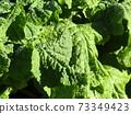 초봄의 화단을 노랗게 장식 나바나의 건강한 잎 73349423