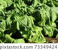 초봄의 화단을 노랗게 장식 나바나의 건강한 잎 73349424