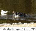 이나 게 해변 공원에 온 겨울 철새 유리카모메와 고방 오리 73350295