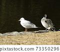 이나 게 해변 공원에 온 겨울 철새 유리카모메와 고방 오리 73350296