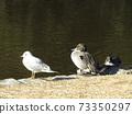 이나 게 해변 공원에 온 겨울 철새 유리카모메와 고방 오리 73350297