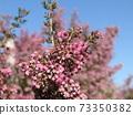 귀여운 작은 분홍색 꽃 뱀눈 에리카 73350382
