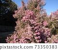 귀여운 작은 분홍색 꽃 뱀눈 에리카 73350383