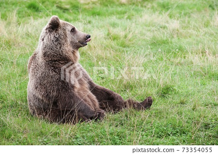 Brown bear in the nature  73354055