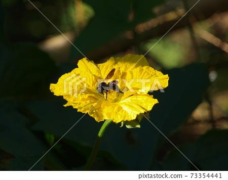 蜂採蜜 73354441