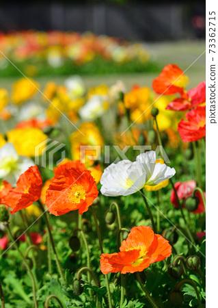 봄 꽃의 미술관에 핀 양귀비 73362715