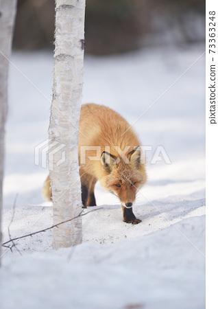 北極狐走在冬季森林(北海道) 73363248