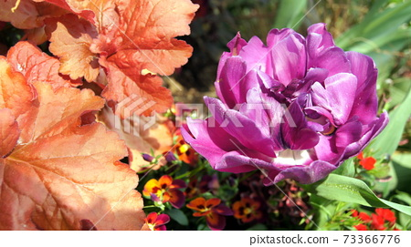 16: 9 Purple rose-like tulip: blue diamond 73366776