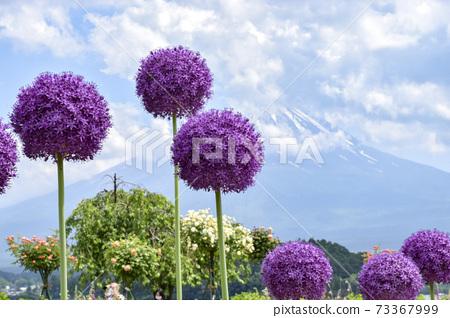 Allium 73367999