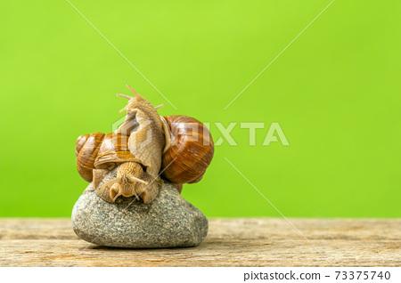 Two garden snails hugging 73375740