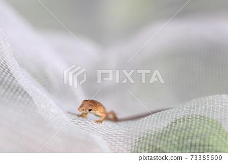 蜥蜴在網上行走(假名蛇,日本假名蛇,阿美原野) 73385609