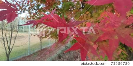 단풍나무 73386780