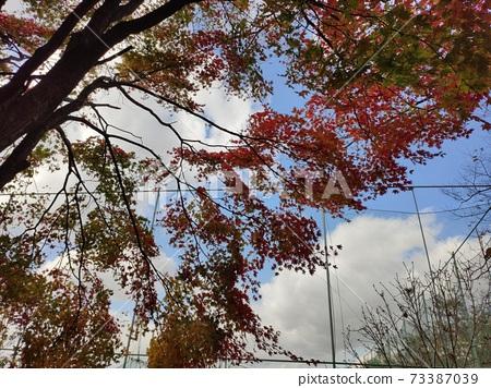 단풍나무 73387039