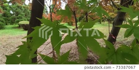 단풍나무 73387067
