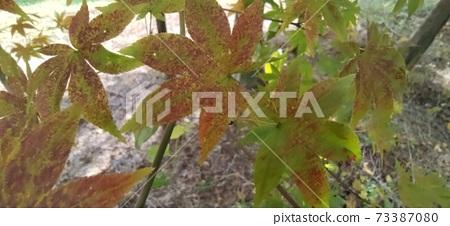 단풍나무 73387080