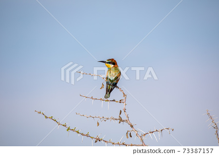 Bee eater at Etosha National Park, Namibia 73387157