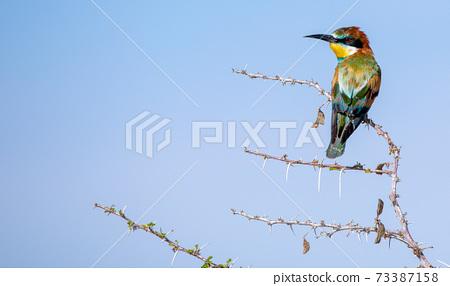 Bee eater at Etosha National Park, Namibia 73387158