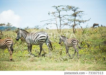 斑馬的父母和孩子(非洲野生動物園景觀) 73387313