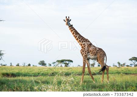 야생 기린 (아프리카 사파리의 풍경) 73387342