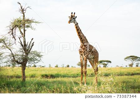 野生的長頸鹿(非洲野生動物園景觀) 73387344