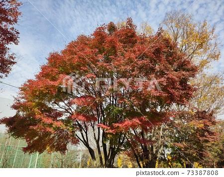 단풍나무 73387808