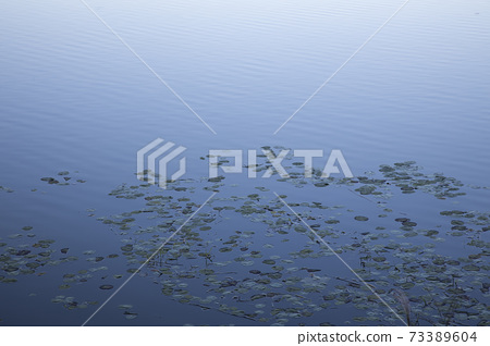 Pond water lily 73389604