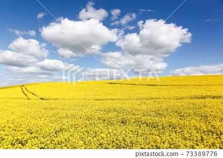 Yellow rapeseed field in Denmark 73389776