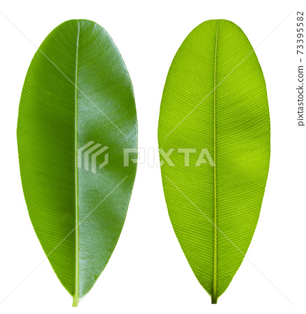 Green leaf with pinnately  parallel  venation pattern 73395582