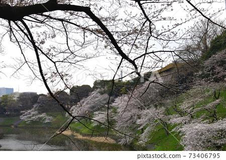 東京Chidorigafuchi Ushigafuchi櫻花盛開 73406795