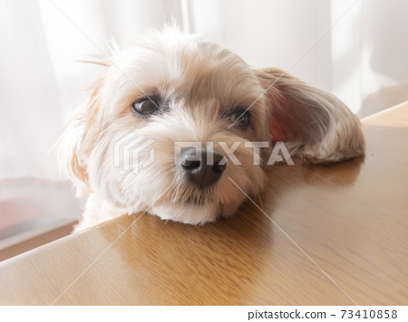 一隻可愛的杏小狗,將臉龐放在被爐桌上[馬爾普玩具貴賓犬] 73410858
