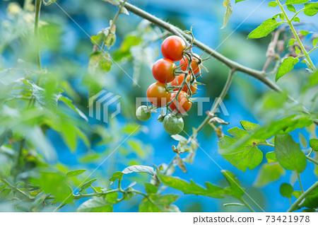 在家庭菜園的微型蕃茄 73421978