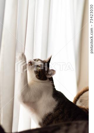 커튼에 손톱을 세우는 고양이 꿩 호랑이 고양이 73423030