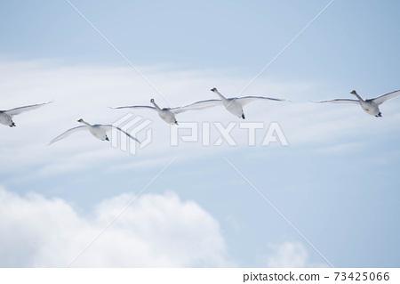 天鵝飛翔在蔚藍的天空 73425066