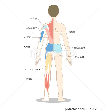Illustration Of Male Whole Body Muscles Seen Stock Illustration 73425629 Pixta