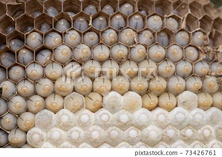 越過蜂巢消滅幼蟲和繭 73426761