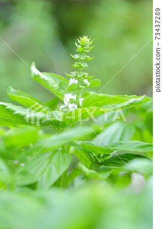 바질의 흰 꽃과 열매 (바질 잎) 73437289