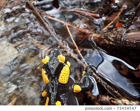 fire salamander 73439547