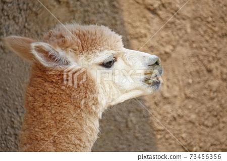 羊駝 73456356