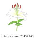 白百合的插圖 73457143