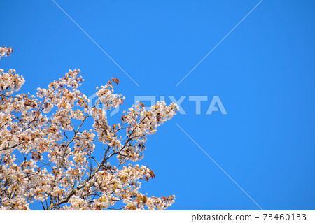 푸른 하늘을 향해 피어있는 꽃 벚나무 오카야마 현오다 군 야 카게 정 73460133
