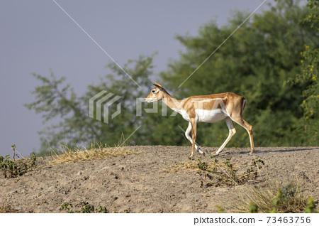 blackbuck or antilope cervicapra or indian antelope a near threatned animal in open field and grassland against blue sky and natural green background at tal chhapar sanctuary or forest rajasthan india 73463756