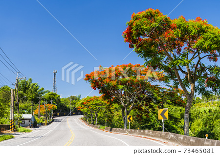 road scenery in Hualien. Taiwan east rift valley. Many Flame trees were planted on both sides of the road 73465081